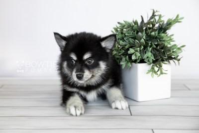 puppy107 week7 BowTiePomsky.com Bowtie Pomsky Puppy For Sale Husky Pomeranian Mini Dog Spokane WA Breeder Blue Eyes Pomskies Celebrity Puppy web3
