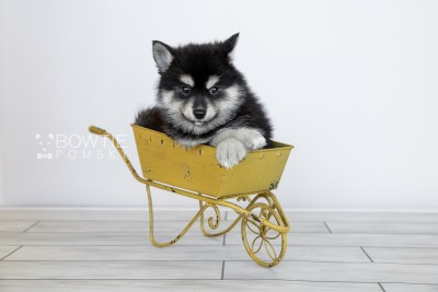 puppy107 week7 BowTiePomsky.com Bowtie Pomsky Puppy For Sale Husky Pomeranian Mini Dog Spokane WA Breeder Blue Eyes Pomskies Celebrity Puppy web5