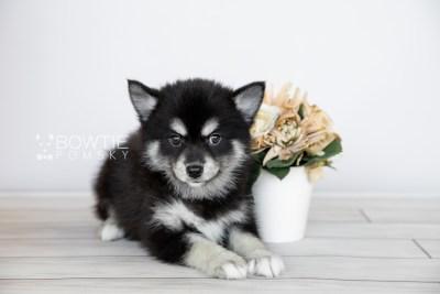 puppy107 week7 BowTiePomsky.com Bowtie Pomsky Puppy For Sale Husky Pomeranian Mini Dog Spokane WA Breeder Blue Eyes Pomskies Celebrity Puppy web6