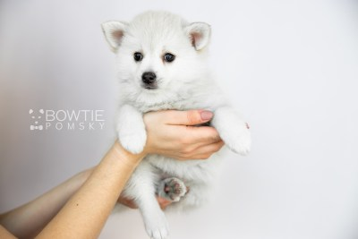 puppy108 week7 BowTiePomsky.com Bowtie Pomsky Puppy For Sale Husky Pomeranian Mini Dog Spokane WA Breeder Blue Eyes Pomskies Celebrity Puppy web1