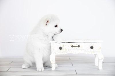 puppy108 week7 BowTiePomsky.com Bowtie Pomsky Puppy For Sale Husky Pomeranian Mini Dog Spokane WA Breeder Blue Eyes Pomskies Celebrity Puppy web4
