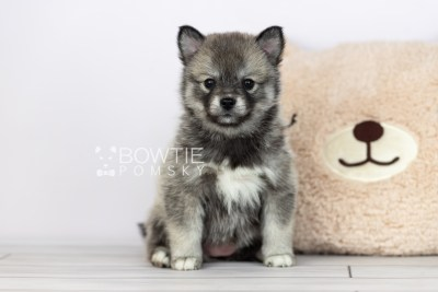 puppy109 week5 BowTiePomsky.com Bowtie Pomsky Puppy For Sale Husky Pomeranian Mini Dog Spokane WA Breeder Blue Eyes Pomskies Celebrity Puppy web1