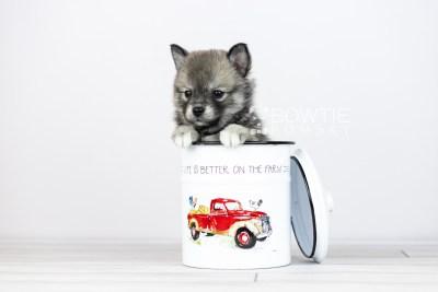 puppy109 week5 BowTiePomsky.com Bowtie Pomsky Puppy For Sale Husky Pomeranian Mini Dog Spokane WA Breeder Blue Eyes Pomskies Celebrity Puppy web3
