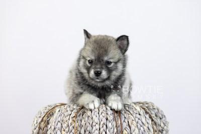 puppy109 week5 BowTiePomsky.com Bowtie Pomsky Puppy For Sale Husky Pomeranian Mini Dog Spokane WA Breeder Blue Eyes Pomskies Celebrity Puppy web4