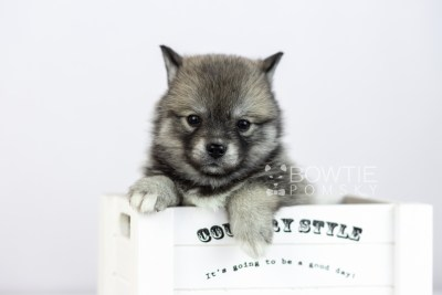 puppy109 week5 BowTiePomsky.com Bowtie Pomsky Puppy For Sale Husky Pomeranian Mini Dog Spokane WA Breeder Blue Eyes Pomskies Celebrity Puppy web5