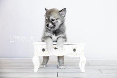 puppy109 week7 BowTiePomsky.com Bowtie Pomsky Puppy For Sale Husky Pomeranian Mini Dog Spokane WA Breeder Blue Eyes Pomskies Celebrity Puppy web4