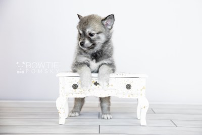 puppy109 week7 BowTiePomsky.com Bowtie Pomsky Puppy For Sale Husky Pomeranian Mini Dog Spokane WA Breeder Blue Eyes Pomskies Celebrity Puppy web4