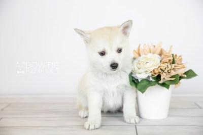 puppy110 week7 BowTiePomsky.com Bowtie Pomsky Puppy For Sale Husky Pomeranian Mini Dog Spokane WA Breeder Blue Eyes Pomskies Celebrity Puppy web6