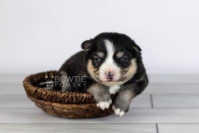 puppy111 week1 BowTiePomsky.com Bowtie Pomsky Puppy For Sale Husky Pomeranian Mini Dog Spokane WA Breeder Blue Eyes Pomskies Celebrity Puppy web2