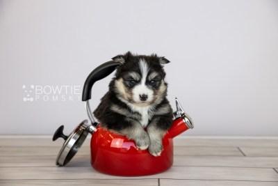 puppy111 week3 BowTiePomsky.com Bowtie Pomsky Puppy For Sale Husky Pomeranian Mini Dog Spokane WA Breeder Blue Eyes Pomskies Celebrity Puppy web1