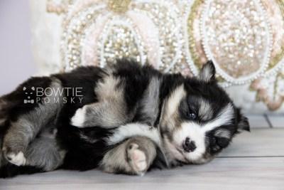 puppy111 week3 BowTiePomsky.com Bowtie Pomsky Puppy For Sale Husky Pomeranian Mini Dog Spokane WA Breeder Blue Eyes Pomskies Celebrity Puppy web5