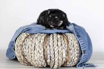 puppy112 week1 BowTiePomsky.com Bowtie Pomsky Puppy For Sale Husky Pomeranian Mini Dog Spokane WA Breeder Blue Eyes Pomskies Celebrity Puppy web5