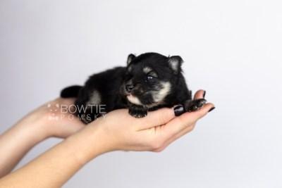 puppy112 week1 BowTiePomsky.com Bowtie Pomsky Puppy For Sale Husky Pomeranian Mini Dog Spokane WA Breeder Blue Eyes Pomskies Celebrity Puppy web6
