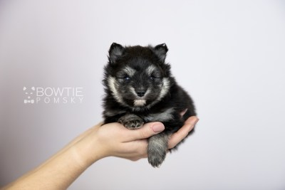 puppy112 week3 BowTiePomsky.com Bowtie Pomsky Puppy For Sale Husky Pomeranian Mini Dog Spokane WA Breeder Blue Eyes Pomskies Celebrity Puppy web2