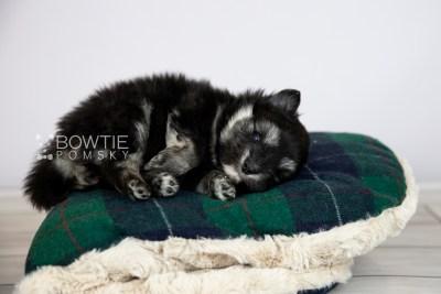 puppy112 week3 BowTiePomsky.com Bowtie Pomsky Puppy For Sale Husky Pomeranian Mini Dog Spokane WA Breeder Blue Eyes Pomskies Celebrity Puppy web3