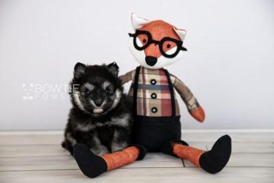 puppy112 week3 BowTiePomsky.com Bowtie Pomsky Puppy For Sale Husky Pomeranian Mini Dog Spokane WA Breeder Blue Eyes Pomskies Celebrity Puppy web4