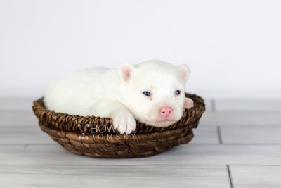 puppy113 week1 BowTiePomsky.com Bowtie Pomsky Puppy For Sale Husky Pomeranian Mini Dog Spokane WA Breeder Blue Eyes Pomskies Celebrity Puppy web2