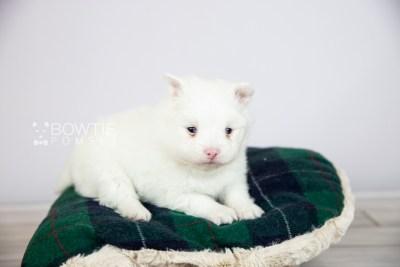 puppy113 week3 BowTiePomsky.com Bowtie Pomsky Puppy For Sale Husky Pomeranian Mini Dog Spokane WA Breeder Blue Eyes Pomskies Celebrity Puppy web3