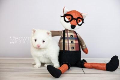 puppy113 week3 BowTiePomsky.com Bowtie Pomsky Puppy For Sale Husky Pomeranian Mini Dog Spokane WA Breeder Blue Eyes Pomskies Celebrity Puppy web4
