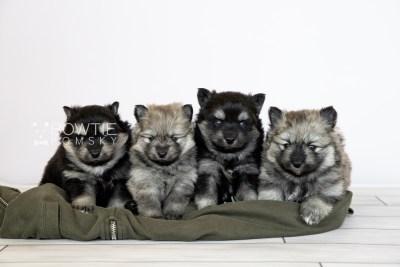 puppy114-117 week3 BowTiePomsky.com Bowtie Pomsky Puppy For Sale Husky Pomeranian Mini Dog Spokane WA Breeder Blue Eyes Pomskies Celebrity Puppy web