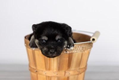 puppy114 week1 BowTiePomsky.com Bowtie Pomsky Puppy For Sale Husky Pomeranian Mini Dog Spokane WA Breeder Blue Eyes Pomskies Celebrity Puppy web3