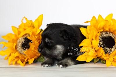 puppy114 week1 BowTiePomsky.com Bowtie Pomsky Puppy For Sale Husky Pomeranian Mini Dog Spokane WA Breeder Blue Eyes Pomskies Celebrity Puppy web4