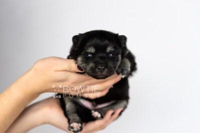 puppy114 week1 BowTiePomsky.com Bowtie Pomsky Puppy For Sale Husky Pomeranian Mini Dog Spokane WA Breeder Blue Eyes Pomskies Celebrity Puppy web6