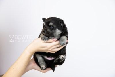 puppy114 week3 BowTiePomsky.com Bowtie Pomsky Puppy For Sale Husky Pomeranian Mini Dog Spokane WA Breeder Blue Eyes Pomskies Celebrity Puppy web1