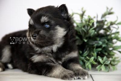 puppy114 week3 BowTiePomsky.com Bowtie Pomsky Puppy For Sale Husky Pomeranian Mini Dog Spokane WA Breeder Blue Eyes Pomskies Celebrity Puppy web2