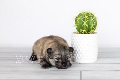 puppy115 week1 BowTiePomsky.com Bowtie Pomsky Puppy For Sale Husky Pomeranian Mini Dog Spokane WA Breeder Blue Eyes Pomskies Celebrity Puppy web1