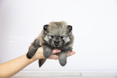 puppy115 week3 BowTiePomsky.com Bowtie Pomsky Puppy For Sale Husky Pomeranian Mini Dog Spokane WA Breeder Blue Eyes Pomskies Celebrity Puppy web1