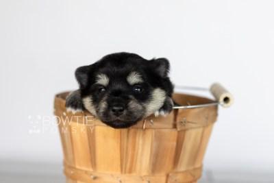 puppy116 week1 BowTiePomsky.com Bowtie Pomsky Puppy For Sale Husky Pomeranian Mini Dog Spokane WA Breeder Blue Eyes Pomskies Celebrity Puppy web3