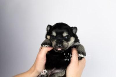 puppy116 week1 BowTiePomsky.com Bowtie Pomsky Puppy For Sale Husky Pomeranian Mini Dog Spokane WA Breeder Blue Eyes Pomskies Celebrity Puppy web6
