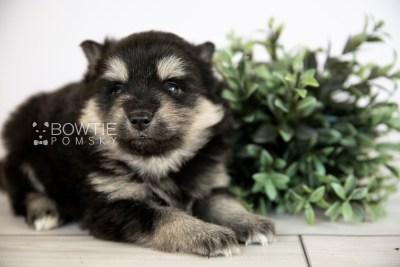 puppy116 week3 BowTiePomsky.com Bowtie Pomsky Puppy For Sale Husky Pomeranian Mini Dog Spokane WA Breeder Blue Eyes Pomskies Celebrity Puppy web2