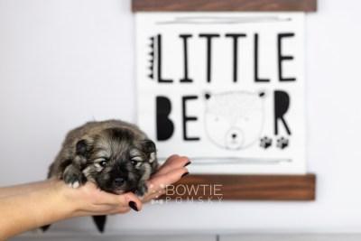 puppy117 week1 BowTiePomsky.com Bowtie Pomsky Puppy For Sale Husky Pomeranian Mini Dog Spokane WA Breeder Blue Eyes Pomskies Celebrity Puppy web5