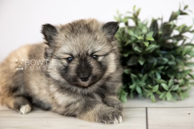 puppy117 week3 BowTiePomsky.com Bowtie Pomsky Puppy For Sale Husky Pomeranian Mini Dog Spokane WA Breeder Blue Eyes Pomskies Celebrity Puppy web2