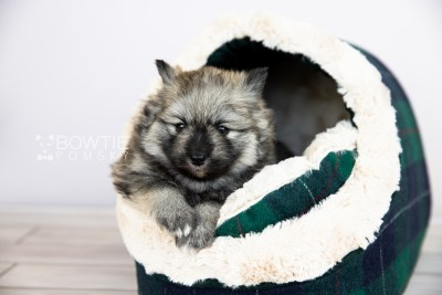 puppy117 week3 BowTiePomsky.com Bowtie Pomsky Puppy For Sale Husky Pomeranian Mini Dog Spokane WA Breeder Blue Eyes Pomskies Celebrity Puppy web5