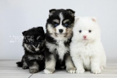 puppy111-113 week5 BowTiePomsky.com Bowtie Pomsky Puppy For Sale Husky Pomeranian Mini Dog Spokane WA Breeder Blue Eyes Pomskies Celebrity Puppy web1
