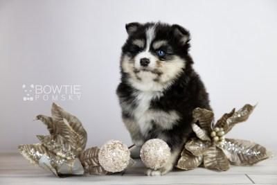 puppy111 week5 BowTiePomsky.com Bowtie Pomsky Puppy For Sale Husky Pomeranian Mini Dog Spokane WA Breeder Blue Eyes Pomskies Celebrity Puppy web3