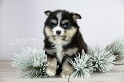 puppy111 week5 BowTiePomsky.com Bowtie Pomsky Puppy For Sale Husky Pomeranian Mini Dog Spokane WA Breeder Blue Eyes Pomskies Celebrity Puppy web5