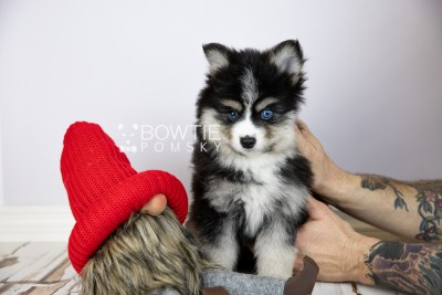 puppy111 week7 BowTiePomsky.com Bowtie Pomsky Puppy For Sale Husky Pomeranian Mini Dog Spokane WA Breeder Blue Eyes Pomskies Celebrity Puppy web2