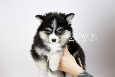 puppy111 week7 BowTiePomsky.com Bowtie Pomsky Puppy For Sale Husky Pomeranian Mini Dog Spokane WA Breeder Blue Eyes Pomskies Celebrity Puppy web6