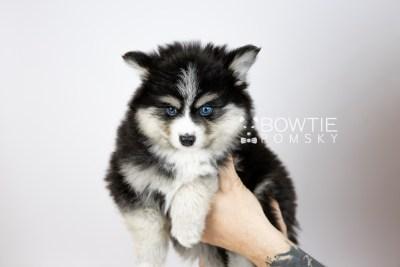 puppy111 week7 BowTiePomsky.com Bowtie Pomsky Puppy For Sale Husky Pomeranian Mini Dog Spokane WA Breeder Blue Eyes Pomskies Celebrity Puppy web6