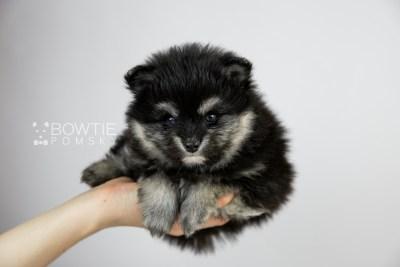 puppy112 week5 BowTiePomsky.com Bowtie Pomsky Puppy For Sale Husky Pomeranian Mini Dog Spokane WA Breeder Blue Eyes Pomskies Celebrity Puppy web1