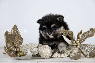 puppy112 week5 BowTiePomsky.com Bowtie Pomsky Puppy For Sale Husky Pomeranian Mini Dog Spokane WA Breeder Blue Eyes Pomskies Celebrity Puppy web3