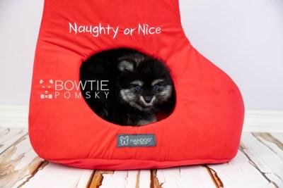 puppy112 week7 BowTiePomsky.com Bowtie Pomsky Puppy For Sale Husky Pomeranian Mini Dog Spokane WA Breeder Blue Eyes Pomskies Celebrity Puppy web4