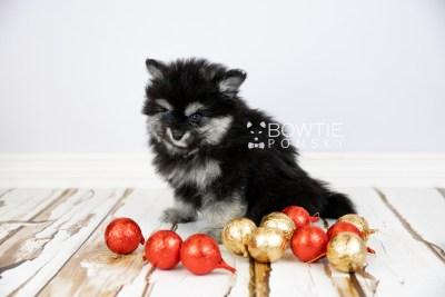 puppy112 week7 BowTiePomsky.com Bowtie Pomsky Puppy For Sale Husky Pomeranian Mini Dog Spokane WA Breeder Blue Eyes Pomskies Celebrity Puppy web5