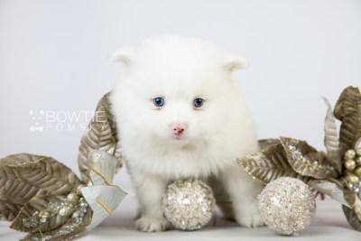 puppy113 week5 BowTiePomsky.com Bowtie Pomsky Puppy For Sale Husky Pomeranian Mini Dog Spokane WA Breeder Blue Eyes Pomskies Celebrity Puppy web3