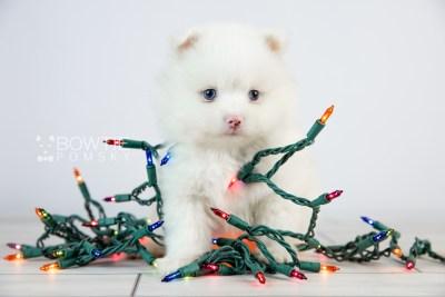 puppy113 week5 BowTiePomsky.com Bowtie Pomsky Puppy For Sale Husky Pomeranian Mini Dog Spokane WA Breeder Blue Eyes Pomskies Celebrity Puppy web6