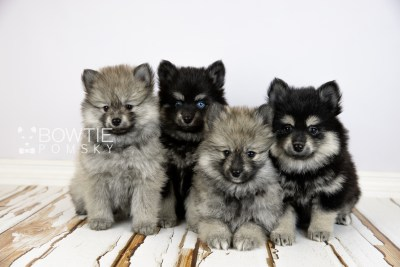 puppy114-117 week7 BowTiePomsky.com Bowtie Pomsky Puppy For Sale Husky Pomeranian Mini Dog Spokane WA Breeder Blue Eyes Pomskies Celebrity Puppy web2
